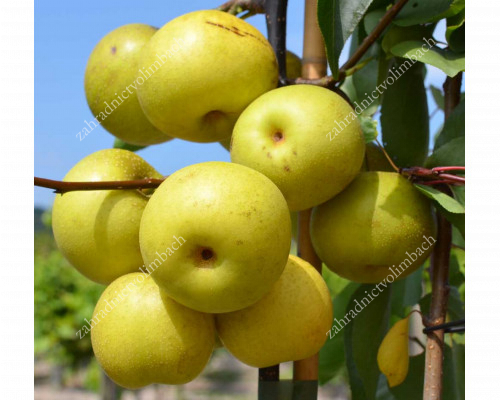 Apple Pear SHINSEIKI
