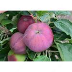 Apple (Malus domestica) GIN - Columnar Tree