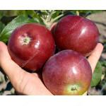 Jabloň (Malus domestica) POMFITAL® (stĺpová)