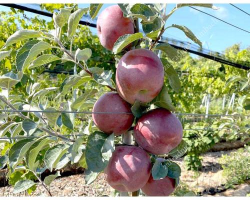 Apple (Malus domestica) VENYAMINOVSKOYE