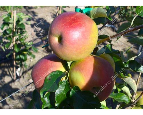 Apfel (Malus domestica) VNUTSCHKA