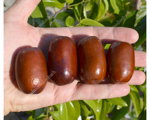 Jujube Tree (Ziziphus jujuba) CHUN - Rare Fruit Trees Collection