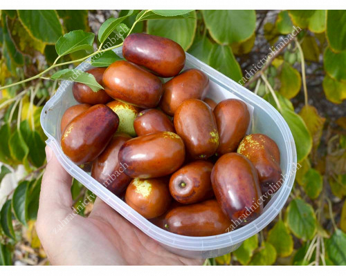 Jujube Tree (Ziziphus jujuba) JINCHANG No.1 - Rare Fruit Trees Collection