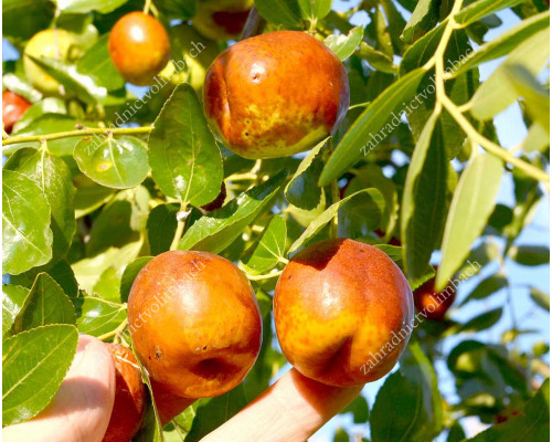 LI Jujube Tree - Rare Fruit Trees Collection
