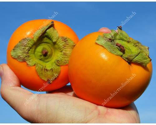 Asian Persimmon (Diospyros kaki) DUNAI