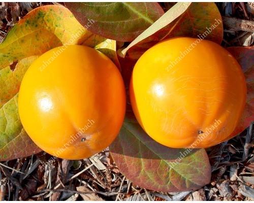 Asian Persimmon (Diospyros kaki) KOSTATA BS Hofmann selection