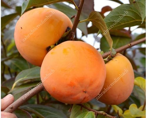 Persimmon Tree (Diospyros kaki) MRIYA