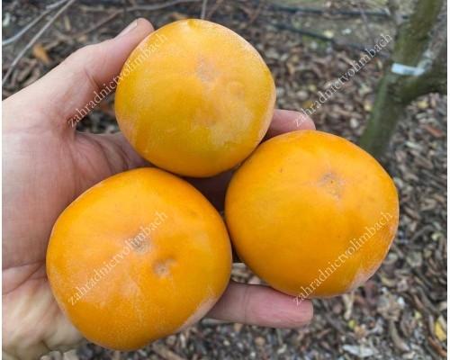 Persimmon Tree (Diospyros kaki) PAMYAT CHERNYAEVA