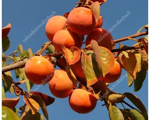 Persimmon Tree (Diospyros kaki) SOSNOVSKAYA