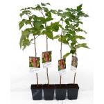 Himbeere (Rubus idaeus) AROMA QUEEN®