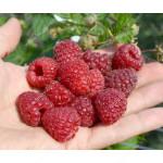 Himbeere (Rubus idaeus) DELNIWA