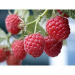 Malina (Rubus idaeus) GLEN AMPLE®