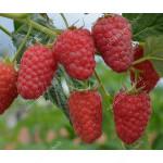 Raspberry (Rubus idaeus) GORDOST ROSYI syn. ISPOLIN