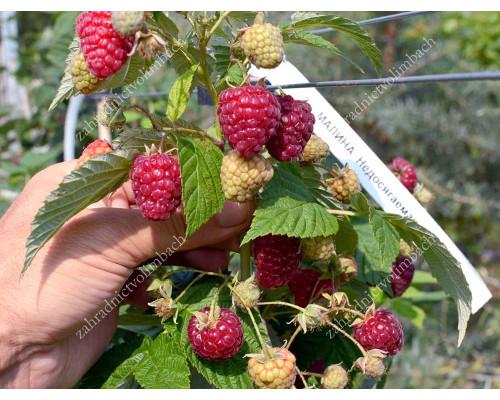 Raspberry NEDOSYAGEMAYA