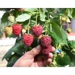Himbeere (Rubus idaeus) POLESIE