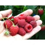 Raspberry (Rubus idaeus) POLKA