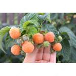Himbeere (Rubus idaeus) PORANNA ROSA