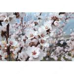 Almond Tree (Amygdalus communis) FERRAGNES