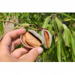 Almond Tree (Amygdalus communis) PALATINA