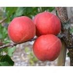 Marhuľa (Prunus armeniaca) AMIRAL