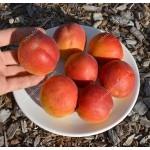 Aprikose (Prunus armeniaca) AMIRAL