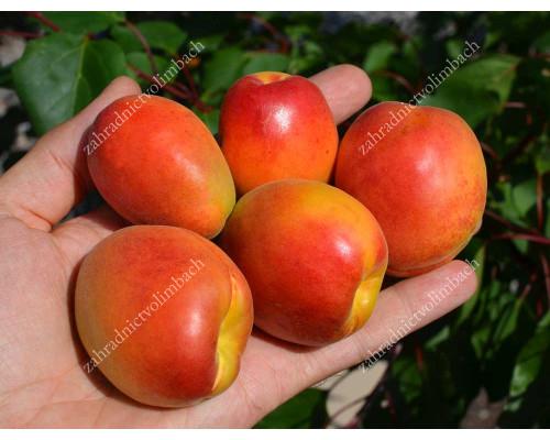 Marhuľa (Prunus armeniaca) HILDE (S)