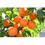 Marhuľa (Prunus armeniaca) COMPACTA®