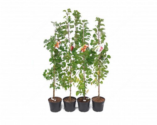 Aprikose (Prunus armeniaca) DACIA