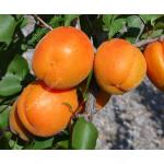 Marhuľa (Prunus armeniaca) MONASTYRSKIJ