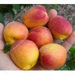 Aprikose (Prunus armeniaca) OSOBLIVYJ DENISJUKA