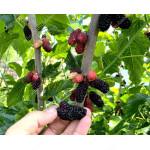 Mulberry (Morus nigra) SHELLY