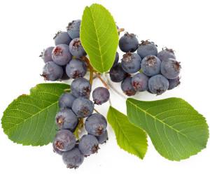 Saskatoon Berry