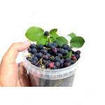 Saskatoon Berry NORTHLINE
