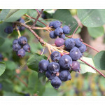 Saskatoon Berry PRINCE WILLIAM