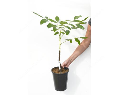 Mini Walnut Tree (Juglans regia) DWARF KARLIK 3