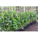 White Currant (Ribes sativa) UMKA®