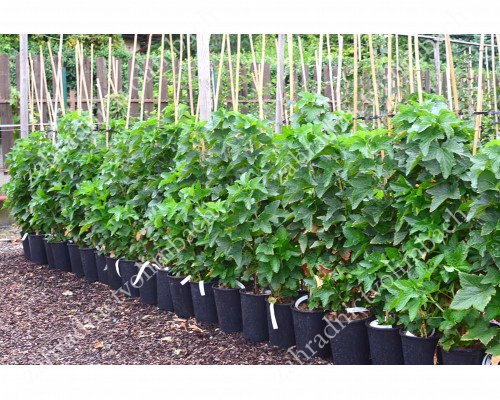 Black Currant TITANIA selection HOMAI® (shrub)