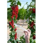 Red Currant DUSHETSHKA® (tree shape)