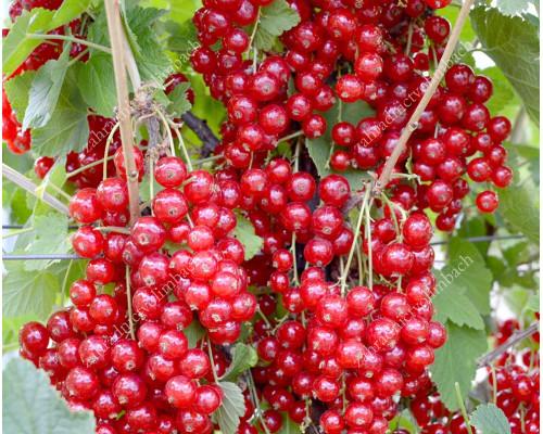 Red Currant JONKHEER VAN TETS (tree shape)