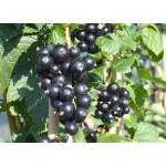 Black Currant JUBILEJNAJA KOPANIJA (shrub)