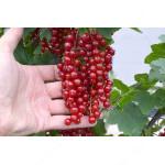 Rote Johannisbeere (Ribes rubrum)  OSIPOVSKAJA