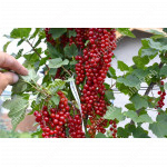 Red Currant  OSIPOVSKAYA (tree shape)