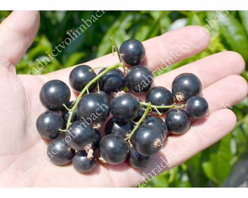 Black Currant TITANIA (tree shape)