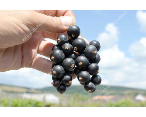 Schwarze Johannisbeere (Ribes nigrum) SCHEMTSCHUSCHINA