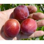 Apricot x Cherry APRIKYRA®
