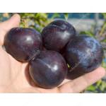 Japanese plum (Prunus salicina) BLACK AMBER