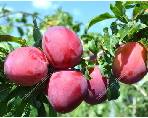 Japanese plum (Prunus salicina) SANTA ROSA
