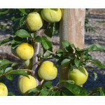 Japanese plum (Prunus salicina) SHIRO