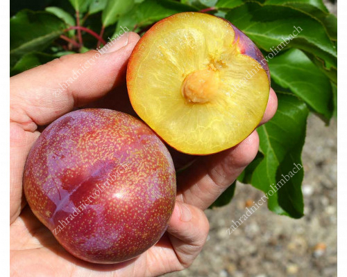 Japanese plum (Prunus salicina) VANIER