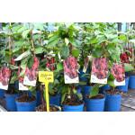 SADOVA No.1 Schisandra Chinensis Plants